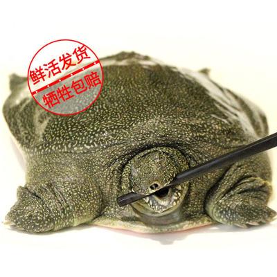 一對活寶 甲魚3斤左右1只裝 冬季滋補甲魚中華鱉野外放養水團魚滋補老鱉活體包郵
