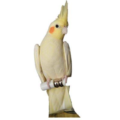 虎皮活鳥大型會說話云斑鳥活物寵物手養小鳥幼鳥