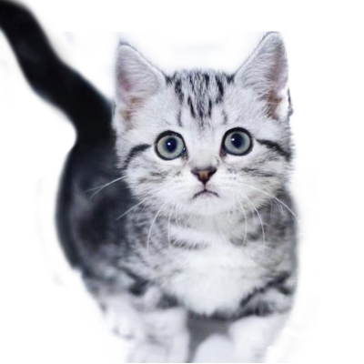 喜喵国际名猫|美短虎斑猫幼猫猫活体 银虎斑宠物猫活体 猫咪活体 品种齐全 纯种宠物猫 幼猫幼崽宠物猫咪活体公母均有幼崽