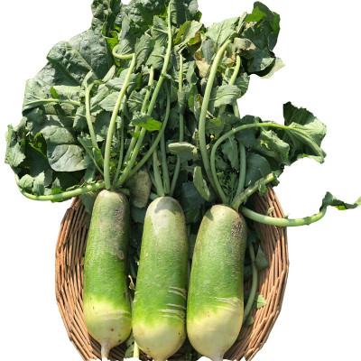 沙窝萝卜 净重5斤装 正宗山东潍坊水果萝卜 新鲜蔬菜农产品