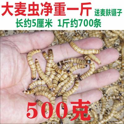 順豐大麥蟲金龍魚飼料面包蟲粉蟲子爬寵物廣州發貨足稱 大麥蟲(5厘米)凈重一斤+麥麩一斤