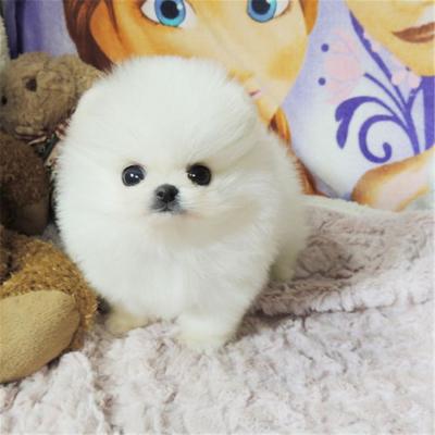 夢茜兒-純種茶杯博美犬幼犬活體 純白色寵物狗狗 玩具型長不大的狗狗黃色博美幼犬終身包純可視頻挑選