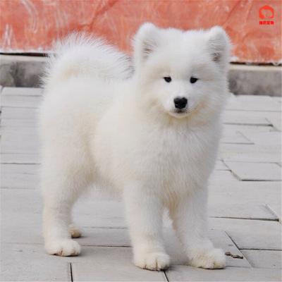 惟愿寵物旗艦店 純種薩摩耶犬幼犬出售 活體寵物狗狗薩摩耶 白色澳版薩摩 大型犬巨型熊版 大骨架 健康保障 空運直達