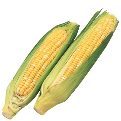 【天府生鲜】预售-2月3日恢复发货 云南水果玉米 9斤 箱装 香甜可口 可以生吃的玉米 时令水果蔬菜 奥奇健