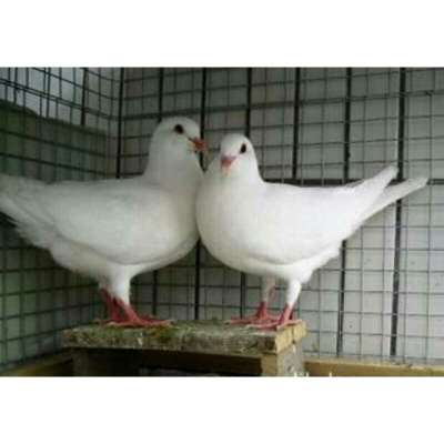元宝鸽子一对观赏鸽青年鸽公斤肉鸽元宝种鸽成年二斤左右 白羽王种鸽一对