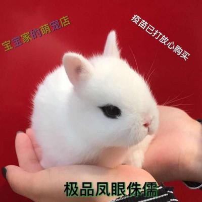 宠弗小兔子长不大垂耳兔迷你熊猫小型侏儒兔茶杯兔宠物公主小白兔 一只(送笼子) 白色垂耳兔