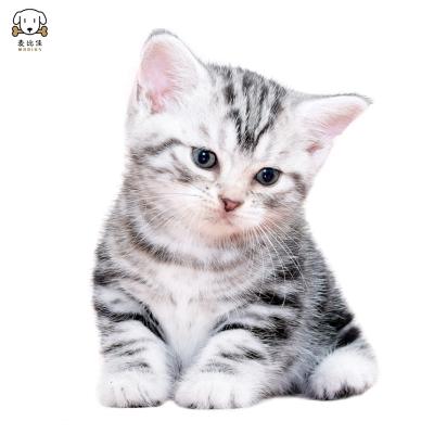 惟愿宠物猫咪 猫咪美国短毛猫咪幼崽 纯种血统级美短虎斑猫 美短虎斑猫 美短加白起司猫 视频挑选健康保障