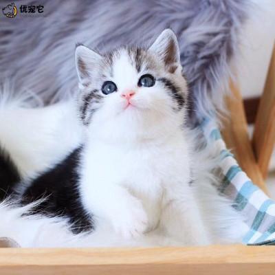 優寵它正規貓舍 美短虎斑加白起司貓咪活體 純種美國短毛貓幼貓標斑 血統級加白起司喵活物真貓可視頻挑選