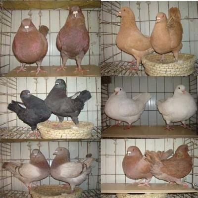 元宝鸽子观赏鸽公斤肉鸽元宝种鸽成年可以涨到2斤左右 精品元宝单只(颜色公母备注)