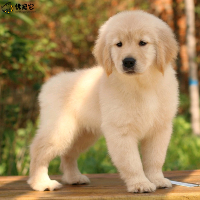 優寵它 活體金毛犬幼犬 寵物狗狗 金毛犬 純種雙血統大頭楓葉金毛 大骨架巡回獵犬 家養中大型狗狗