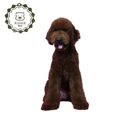 純種巨型貴賓泰迪 幼犬大泰迪 灰色玩具狗狗 泰坦狗超大型 純種血統超大巨型貴賓 泰迪灰香檳白巧克力紅色黑巨貴狗狗幼犬