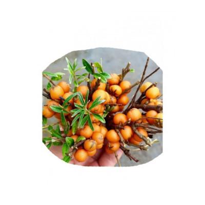新鲜沙棘果 山西特产 吕梁山 沙刺果 新鲜 挑选醋柳果 生鲜 500g