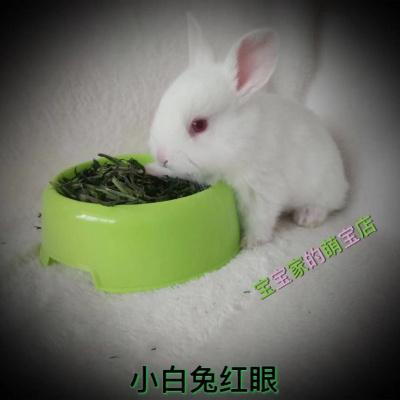宠弗宠物兔子长不大纯种垂耳兔幼崽小侏儒茶杯兔猫猫兔小白兔便宜 单身 黄白垂耳