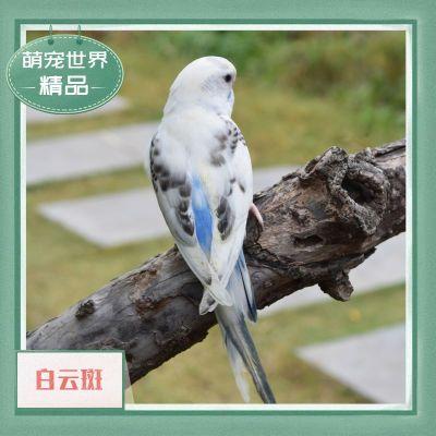 寵弗 虎皮活鳥觀賞寵物云斑大型會說話的小鳥手養活物幼鳥