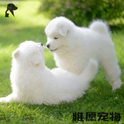 惟愿寵物 狗狗活體 高品質賽血雙血統純種薩摩耶幼犬活體 西伯利亞雪橇犬 微笑天使薩摩寵物小白狗 咨詢客服視頻選狗