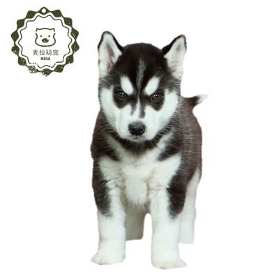 【定金】豆樂奇哈士奇純種 三火二哈幼犬雪橇犬 寵物狗狗幼崽 哈士奇幼犬活物伴侶犬