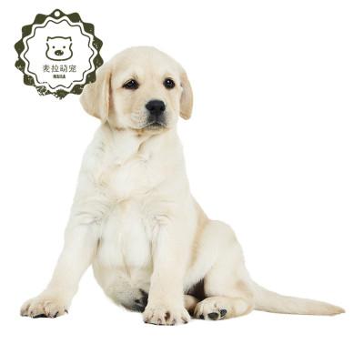 【定金】豆樂奇拉布拉多狗狗 幼犬狗狗純種 拉布拉多神犬 小七中型犬導盲犬活物寵物狗