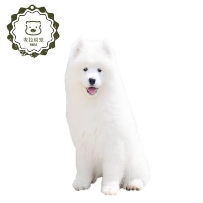 萨摩耶幼犬微笑天使萨摩耶白色大白熊阿拉斯加犬宠物狗狗纯种萨摩耶狗狗