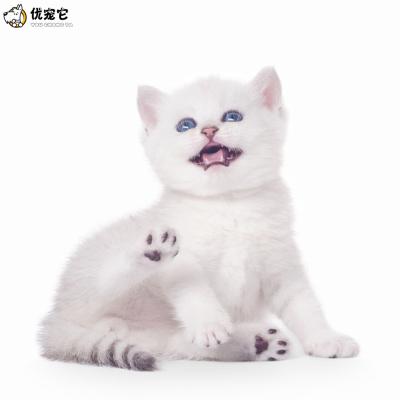 優寵它貓舍 純種銀漸層貓咪活體出售 血統級英國短毛貓銀漸層金漸層幼貓活物 銀點寵物貓 疫苗驅蟲包健康