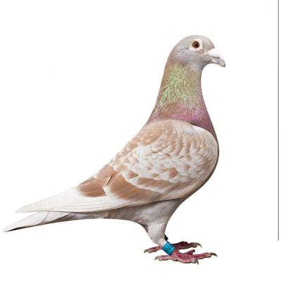 活一對肉鴿白信鴿種鴿觀賞鴿白羽王麒麟花淑女鳳尾小鴿 紅雨點成年信鴿一對