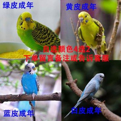 寵弗 活鳥小型會說話寵物種鳥活物成年一對手養云斑幼鳥觀賞鳥