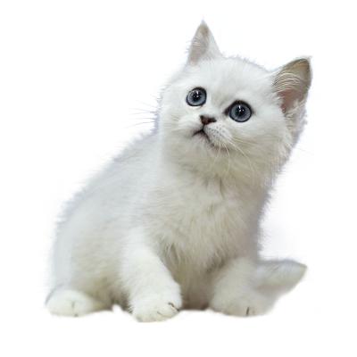 喜喵国际名猫 英短渐层 猫活体 宠物猫活体 猫咪活体 金渐层猫 纯种宠物猫活体 小猫咪 英短幼猫幼崽银渐层猫猫活体