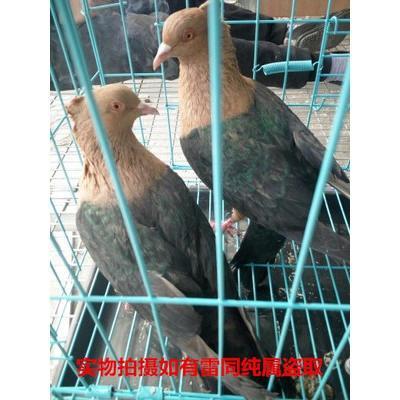 元宝鸽子一对观赏鸽青年鸽公斤肉鸽元宝种鸽成年二斤左右 天使种鸽一对.