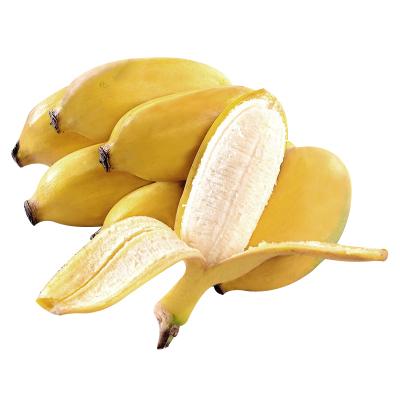 【3件起售】薯家上品 廣西小米蕉3斤(3的倍數發貨) 新鮮現摘香蕉非芭蕉當季應季水果